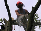 Chainsaw operator at the top of a tree, standing on a thick branch uses a chainsaw to remove unwanted branches, the first part of the coronet cutting