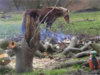 A pile of neatly stacked branches, with a large subsection of tree trunk in the foreground with a new tree growing out of it, and a big brown horse in the background grazing