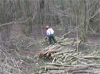 A worker amidst a mass of young trees, tidying up a freshly culled stack