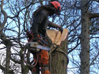 The chainsaw operator up a large tree, begins to plan removing a large stem