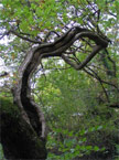 Very unusual tree branch, both twisted and split along the length