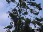 The climber atop the massive tree, grasping a measuring stick
