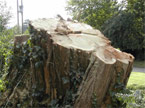 Side view of the massive tree stump which remains after the work