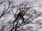 The workman right up the top of a tree pruning smaller branches from a large tree