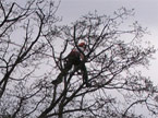A climber up in the very top of a tree, balanced on some very small branches undertaking pruning
